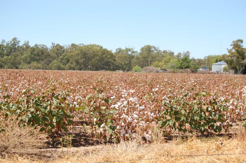 v austrálii se daří i bavlně